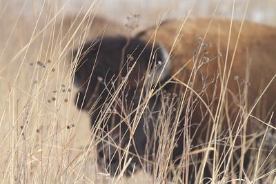 Bison Neal Smith National Wildlife Refuge NWR Prairie City IA IMG_1990