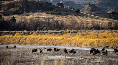 Bison along Little Missouri River Theodore Teddy Roosevelt National Park Medora ND IMGC0845-2