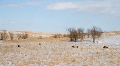 Bison Neal Smith National Wildlife Refuge NWR Prairie City IA  IMG_2189