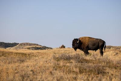 Bison Theodore Teddy Roosevelt National Park Medora ND IMGC0575-2