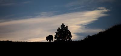 Bison Theodore Teddy Roosevelt National Park Medora ND IMGC0686-2