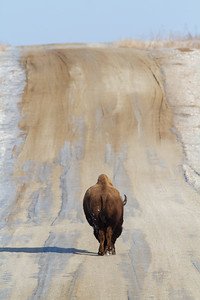 Bison Neal Smith National Wildlife Refuge NWR Prairie City IA IMG_2325