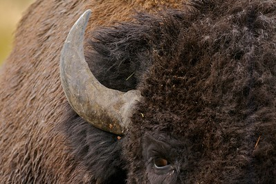 """Buffalo"" are more accurately called American Bison. Their huge back hump contains muscles that are needed to support the massive head [September; Yellowstone National Park, Wyoming]"
