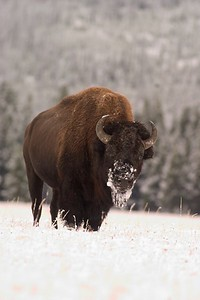 Bison Snowy Face Yellowstone 767_6778