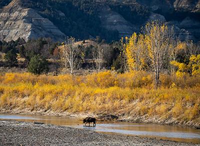 Bison along Little Missouri River Theodore Teddy Roosevelt National Park Medora ND IMGC0832-2