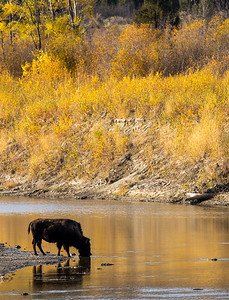 Bison along Little Missouri River Theodore Teddy Roosevelt National Park Medora ND IMGC0822-2