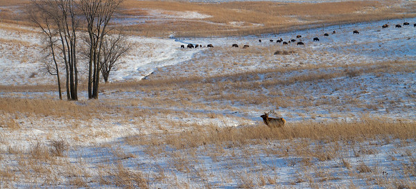 Elk bull and Bison herd Neal Smith National Wildlife Refuge NWR Prairie City IA  IMG_2339