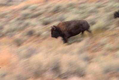 Bison Run 766_6625