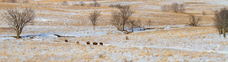 Bison Neal Smith National Wildlife Refuge NWR Prairie City IA IMG_2176
