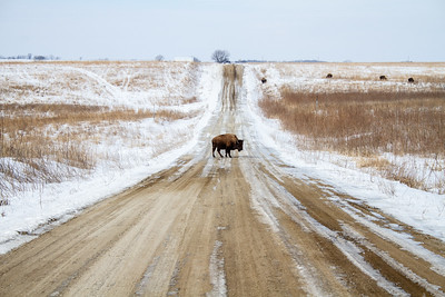 Bison Neal Smith National Wildlife Refuge NWR Prairie City IA IMG_1887