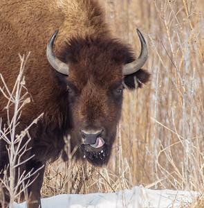Bison Neal Smith National Wildlife Refuge NWR Prairie City IA IMG_1904