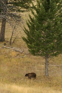 After being run off an Elk carcass by a black Black Bear, this brown Black Bear contemplates its next move [September; Yellowstone National Park, Wyoming]