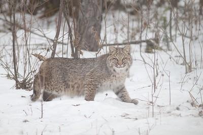 Bobcat Lynx rufus Carlton Co MN IMG_3436
