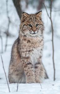 Bobcat Lynx rufus outside our living room window Skogstjarna Carlton County MN  IMG_2706