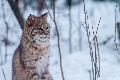 Bobcat Lynx rufus outside our living room window Skogstjarna Carlton County MN  IMG_2648