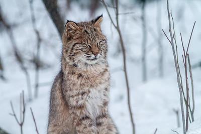 Bobcat Lynx rufus outside our living room window Skogstjarna Carlton County MN  IMG_2677
