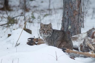 Bobcat Lynx rufus Carlton Co MN IMG_3530