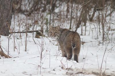 Bobcat Lynx rufus Carlton Co MN IMG_3443