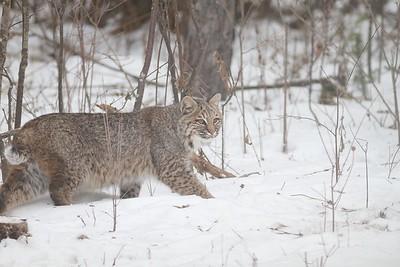 Bobcat Lynx rufus Carlton Co MN IMG_3428