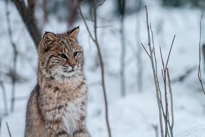 Bobcat Lynx rufus outside our living room window Skogstjarna Carlton County MN  IMG_2672
