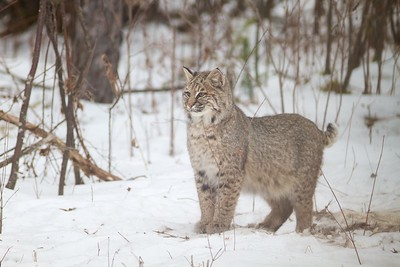 Bobcat Lynx rufus Carlton Co MN IMG_3440