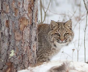 Bobcat Lynx rufus Carlton Co MN IMG_3424