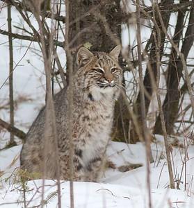 Bobcat Lynx rufus Carlton Co MN IMG_3414
