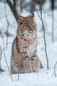 Bobcat Lynx rufus outside our living room window Skogstjarna Carlton County MN  IMG_2697