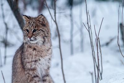 Bobcat Lynx rufus outside our living room window Skogstjarna Carlton County MN  IMG_2653