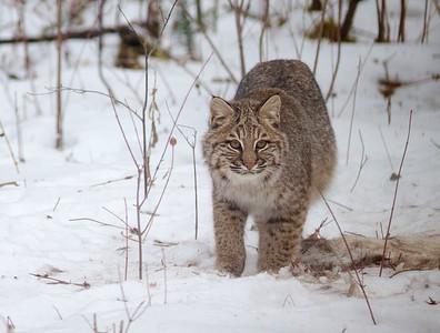 Bobcat Lynx rufus Carlton Co MN IMG_3438