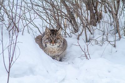 Bobcat at road-killed deer CR7 N of CR29 Sax-Zim Bog MN IMG_0924