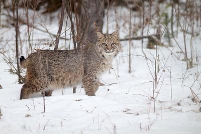 Bobcat Lynx rufus Carlton Co MN IMG_3434