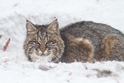 Bobcat at road-killed deer CR7 N of CR29 Sax-Zim Bog MN IMG_1032