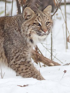 Bobcat Lynx rufus Carlton Co MN IMG_3429