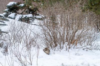 Bobcat at road-killed deer CR7 N of CR29 Sax-Zim Bog MN IMG_0915