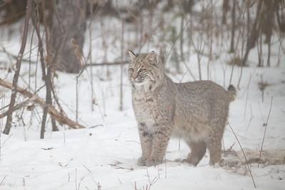Bobcat Lynx rufus Carlton Co MN IMG_3439