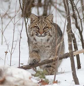 Bobcat Lynx rufus Carlton Co MN Bobcat IMG_3390