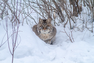 Bobcat at road-killed deer CR7 N of CR29 Sax-Zim Bog MN IMG_0896