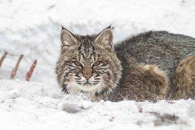 Bobcat at road-killed deer CR7 N of CR29 Sax-Zim Bog MN IMG_1048