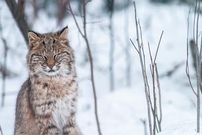 Bobcat Lynx rufus outside our living room window Skogstjarna Carlton County MN  IMG_2663