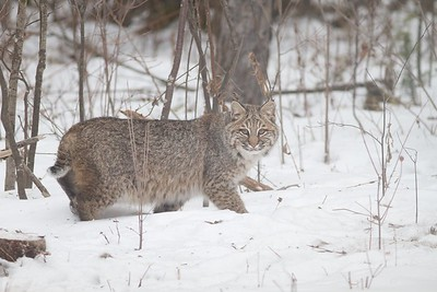 Bobcat Lynx rufus Carlton Co MN IMG_3431