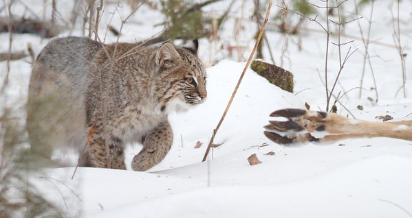 Bobcat Lynx rufus Carlton Co MN IMG_3422