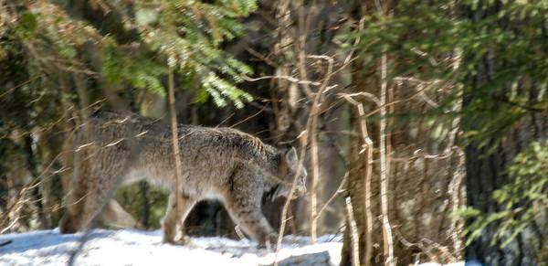 Canada Lynx Lynx canadensis Sawbill Trail near Hogcreek Road Cook County MN P1033207-4