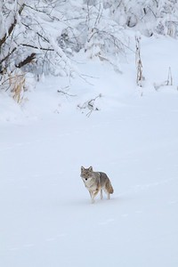 Coyote called in St  Louis River Fond du Lac Duluth MN IMG_1381
