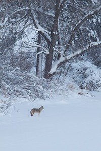 Coyote called in St  Louis River Fond du Lac Duluth MN IMG_1443