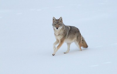 Coyote called in St  Louis River Fond du Lac Duluth MN IMG_1386