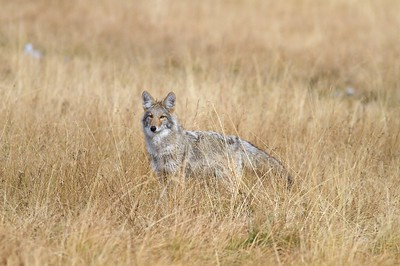 One of a pair of Coyote hunting voles (Meadow Voles?) in a Yellowstone meadow. Vole populations must have been high as their success rate seemed to be 30 to 50 percent [October; Yellowstone National Park, Wyoming]