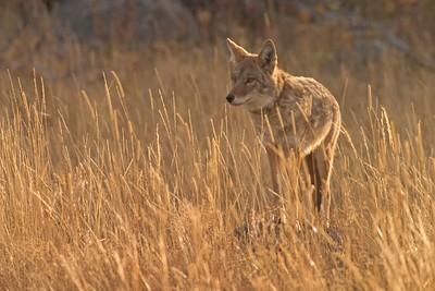 Coyote backlit 772_7257