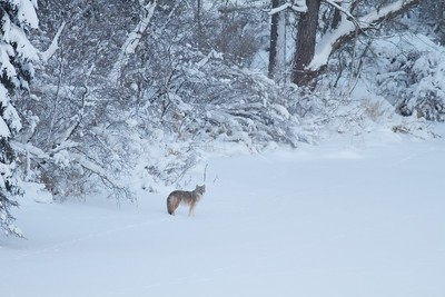 Coyote called in St  Louis River Fond du Lac Duluth MN IMG_1438