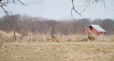 Coyote at Nana's Farm Galesburg ILIMG_1148